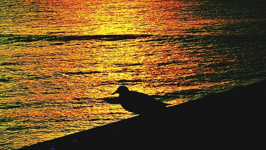 Sunset Silhouette One Animal Animal Themes Nature Water No People Animal Wildlife Outdoors Sea Day Sea Life Mammal Backgrounds Landscape Sunrise Silhouette Wrightsville Beach NC Wrightsville Beach Power In Nature Ncphotography NCPhotographer Horizon Over Water NC Dramatic Sky Reflection