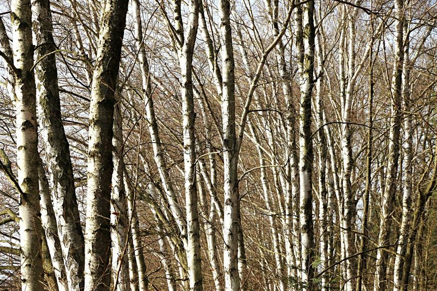 Birch Broadleaf Birke Trees Tree Baum Bäume Wald Forest Laubbaum Natur Nature Photography Naturelovers Nature_collection