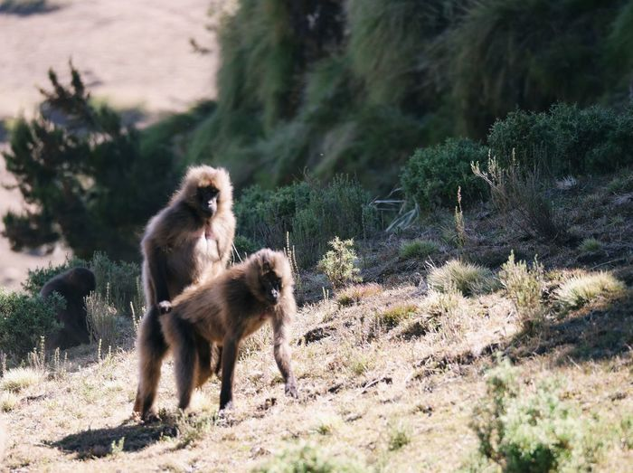 love is in the air Simien Mountains Gelada Monkey Animals In The Wild Making Love Ethiopia Africa Wildlife Nature Baboon Sand Sunlight Meerkat Plant Primate Monkey