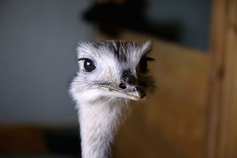 Close-up portrait of ostrich