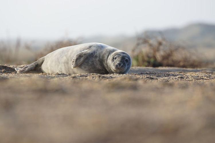 One Animal Seal - Animal Sea Selective Focus Land Animal Animal Themes Beach Sadness Marine Sashalmi Seal Sealife Baby Seal Baby Wildlife Wildlife & Nature Wildlife Photography Sand Sea Life
