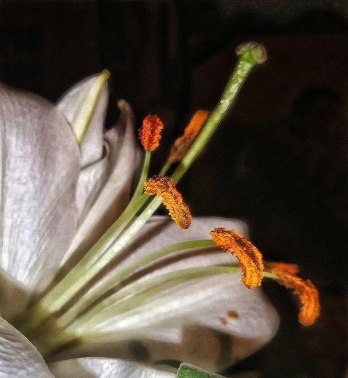 Lilly Pollen