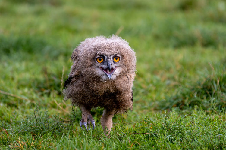 Portrait of young eagle owl on field