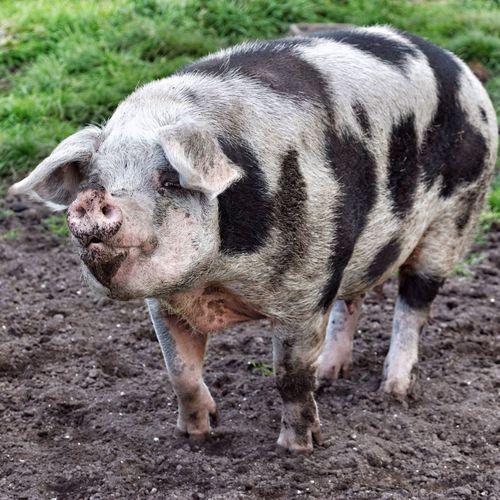 Pig standing in yard