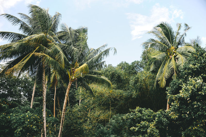 Phuket Thailand Beauty In Nature Coconut Island Day Green Color Growth Leaf Low Angle View Nature No People Outdoors Palm Tree Plant Scenics Sky Tranquility Tree