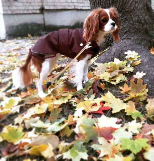Burgunde Bestfriend Autumn Cavalier King Charles Spaniel Cavlife Cute Pets Dog