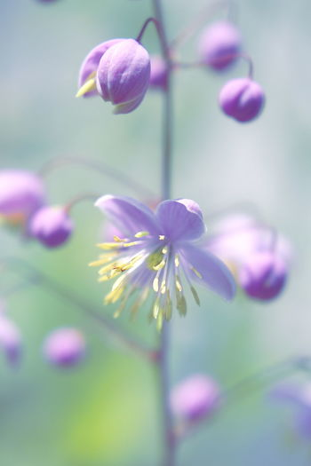 Yunnan Meadow Rue Yunnan Meadow Rue Beautiful Beauty Beauty In Nature Blooming Bright Close-up Delicate Flower Fragility Freshness Growth Nature No People Outdoors Pedal Plant