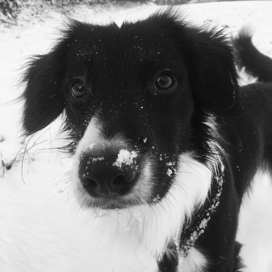 Snow dog EyeEmNewHere Winter Snow Mammal One Animal Domestic Animals Pets Domestic Dog Canine Looking At Camera Close-up Black Color Animal Nose Animal Eye Animal Mouth EyeEmNewHere