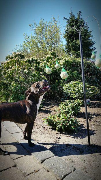 Enjoying life with my mom and the lovely sunshine 💜🌞 Enjoying Life Staffordshire Bull Terrier Mydogiscoolerthanyourkids Can't Live Without Staffylove Cute Pets Staffysmile Enjoying The Sun Lovemydog Ilovemydog