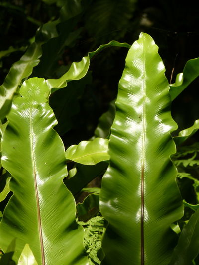 Bird's-nest fern、 Nest fern Bird's-nest Fern Nest Fern Aleq Backgrounds Banana Leaf Beauty In Nature Close-up Day Focus On Foreground Freshness Full Frame Green Color Growth Leaf Leaf Vein Leaves Natural Pattern Nature No People Outdoors Plant Plant Part Sunlight