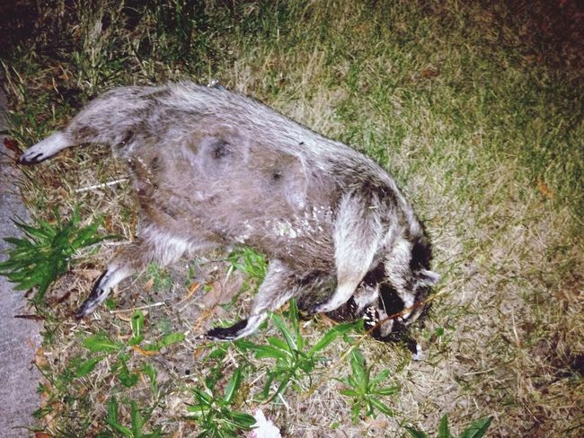 Rip Raccoon Dead Poor Thing