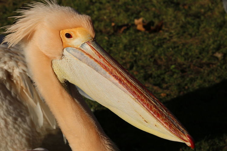 Profile 17.62° Close-up Close Up Photography Pelican Bird Nature Photography Nature Colours Of Nature Bird Photography Animal Photography Birds Of EyeEm  Textures In Nature Beautiful Nature Animals In The Wild Bird Beak Multi Colored Feather  Portrait Eye Animal Eye Close-up Pelican HEAD Long