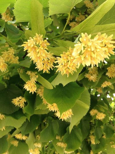 Here lives the sun! 🌞 Linden Flowers Linden Tree Tree Blooming Tree