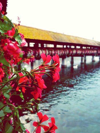 Flowercloseup Bridge Water Lucerne Kapellbrücke