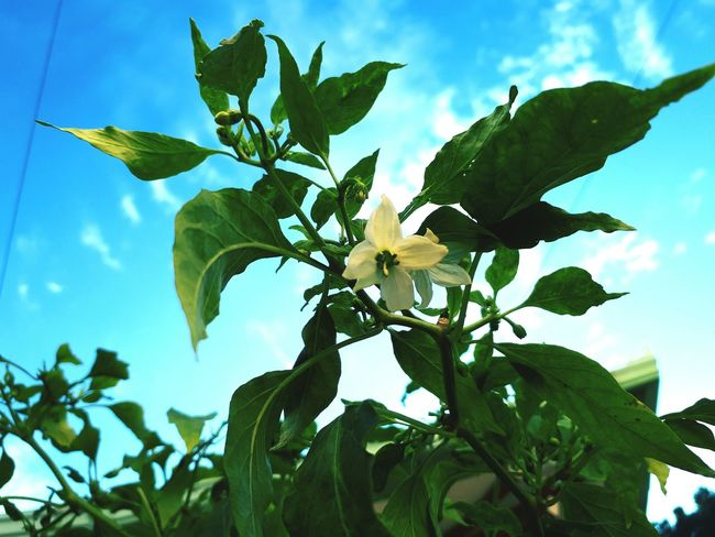 Leaf Tree Low Angle View Sky Growth Green Color Plant Branch Nature Fruit Blue Agriculture Cloud - Sky Day No People Freshness Flower Outdoors Close-up Beauty In Nature Chili Flower Pepper Flower EyeEmNewHere Fragility Petal Blooming Flower Head