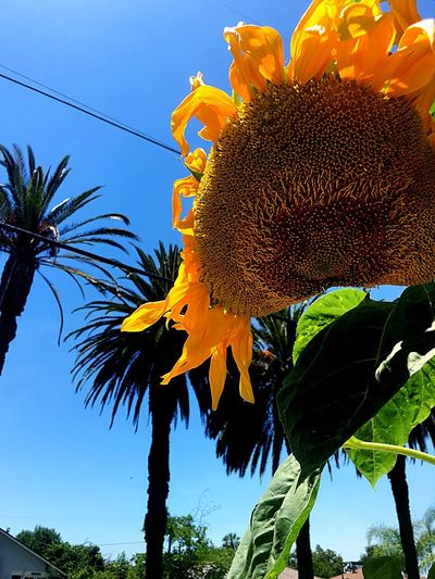 Summertime Feelings Palm Tree Yellow Sunflower Blue Sky Plant Growth Sky Low Angle View Flower Beauty In Nature Flowering Plant Nature Close-up Sunflower Flower Head