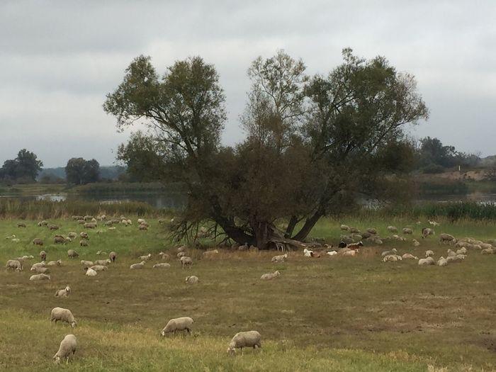 Schafe an der Oder ... Natur Landscape Beauty In Nature Tranquil Scene