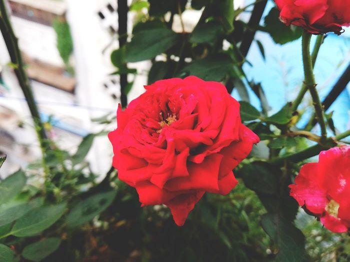 Balcony gardening Flower Head Flower Red Peony  Poppy Pink Color Petal Rose - Flower Leaf Close-up
