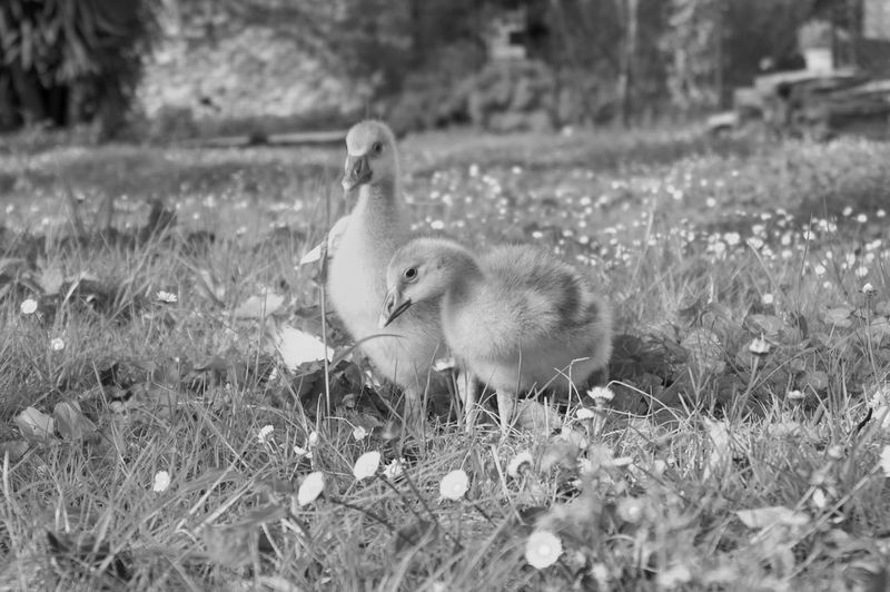 Ducklings On Grassy Field