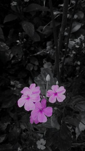 Flower Beauty In Nature Fragility Flower Head Purple Freshness Plant Close-up No People Growth Water Pink Color Nature Outdoors Petal Leaf Day Black Darkness And Light Plant