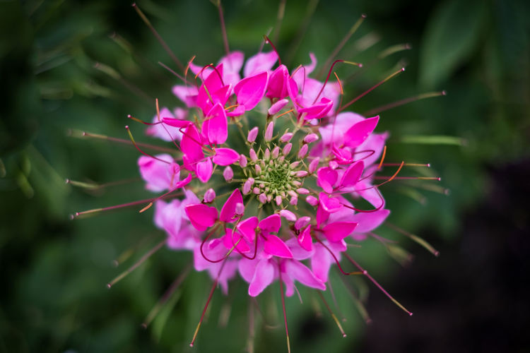 spider flower pink top view or cleome spinosa. texture beautiful natural vegetation. Spider Flower Leaves Garden Green Backgrounds Outdoors Beautiful Park Nature Summer Leaf Spring Pink Flora Color Closeup White Natural Fresh Colorful Bright Plant Flowers Season  Floral Detail Bloom Botanical Growth Decoration Landscape Wildflower Autumn Blossom Petal Gardening Blooming Growing Tree Cleome Pretty Love Top View Textured  Flowering Plant Beauty In Nature Freshness Flower Head No People Pink Color Selective Focus