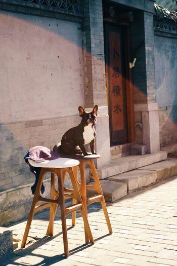 Beijing Hutong Traditional Old City Urban Winter Sunshine Street Dog Showcase: January Bulldog Cute China Relaxing Afternoon
