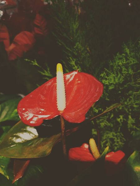 anthurium Flower Head Flower Red Leaf Insect Close-up Plant In Bloom Plant Life Prickly Pear Cactus Botany Blossom