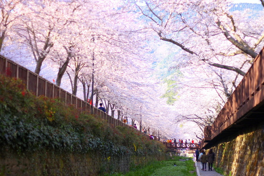 Cherry blossoms and art displays at the famous Jinhae Gunhangje Festival. April 2016 Blossoms  Bridge Changwon Cherry Blossom Day Festival Freshness Growth Jinhae Korea Nature Outdoors People Pink Flower Rapeseed Rapeseed Flowers Sakura South Korea Spring Springtime