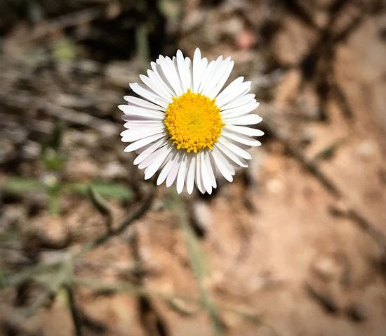 """""""The Tiniest Perfection"""" Tight closeup shot of a diminutive 'Spreading Fleabane' wildflower in the Central Highlands Of New Mexico. Juniper Woodlands New Mexico New Mexico Photography Closeupshot Closeup Perfection Wildflowers Wildflower Spreading Fleabane Flower Freshness Flowering Plant Plant Beauty In Nature Flower Head Vulnerability  Fragility Focus On Foreground"""