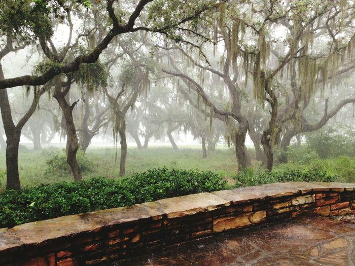 Mossy Oaks Oaks In Rain Storm summer rain