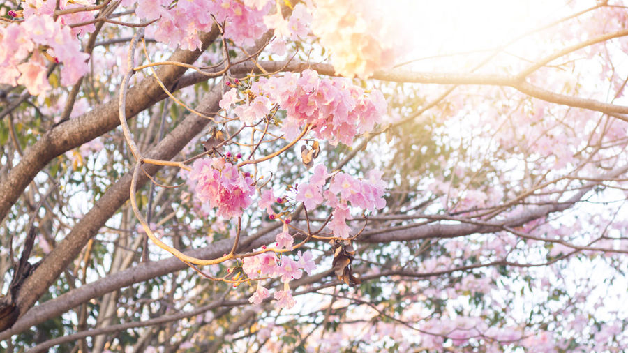 Low angle view of pink cherry blossom tree