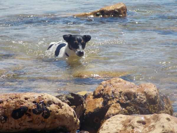 Dog Jack Russell Dog Swimming Stones & Water Rocks Naturelover Sea