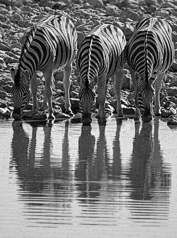 African Namibia Animal Markings Animal Themes Animal Wildlife Animals In The Wild Black And White Day Drinking Mammal Monochrome Photography Nature No People Outdoors Prey Animal Reflection Reflections Safari Animals Striped Three Drinking Zebra Water Water Hole Zebra