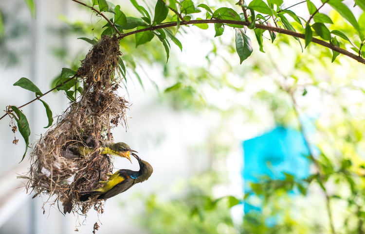 Feeding  Feeding Animals Olive-backed Sunbird Animal Animal Nest Animal Themes Animal Wildlife Animals In The Wild Bird Branch Day Feed  Feeding Birds Feeding The Birds Focus On Foreground Leaf Low Angle View Nature No People One Animal Outdoors Plant Plant Part Tree Vertebrate