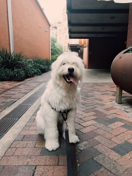 Pet Portraits Dog Pets One Animal Domestic Animals Animal Themes Outdoors Mammal Building Exterior Built Structure Sitting Architecture Day No People Goldendoodle Goldendoodles Goldendoodlesofinstagram