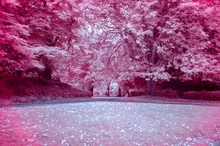 St. Stephen's Green in Dublin. infrared photography. Branch Change Cold Cold Temperature Color Manipulation Dublin Forest Frozen Growing Growth Infrared Ireland Lens Flare Outdoors Park Park - Man Made Space Postprocessing Rain Season  Snow St. Stephens Green Sunny Tree Wet Winter
