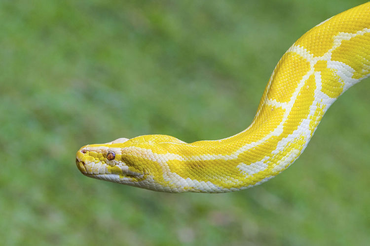 Close-up of yellow snake outdoors