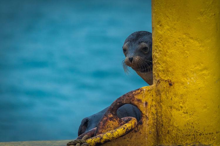 Seal behind yellow metal against sea