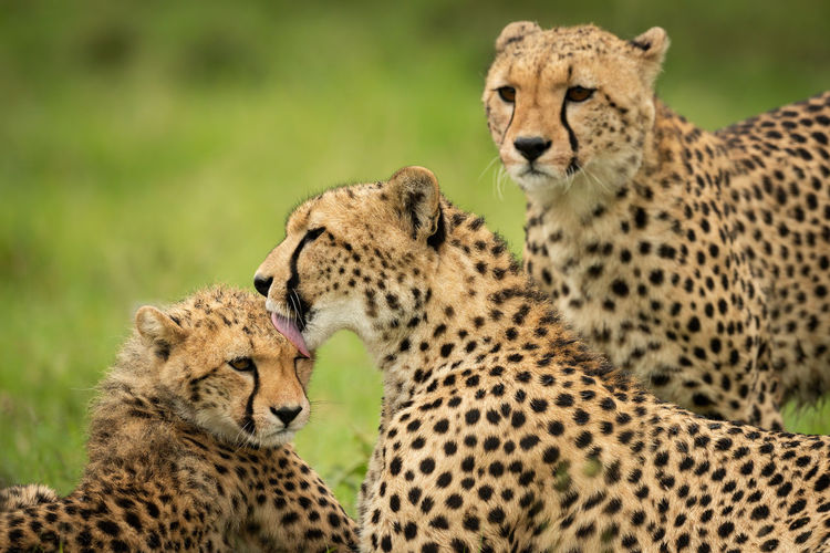 Close-up of cheetah watching mother washing cub