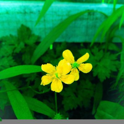 Country style buttercups Flower Leaf Plant Green Color Nature Growth Beauty In Nature Outdoors Close-up Floral No People Flower Head Yellow Freshness Day EyeEmNewHere