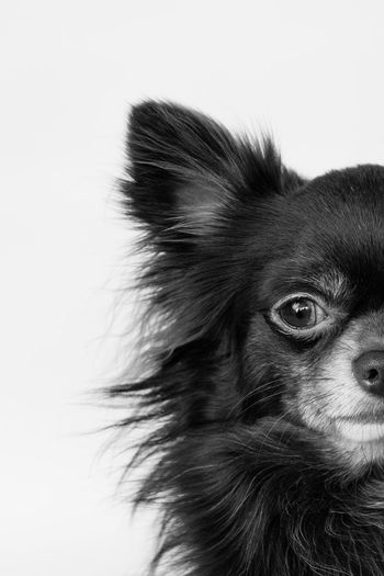 Tesla the chihuahua, half of his face isolated on a White background Space Funny Adorable Cute Blackandwhite Chihuahua Isolated Isolated White Background Pet Dog Looking At Camera Mammal Studio Shot One Animal Headshot Close-up White Background No People The Portraitist - 2018 EyeEm Awards