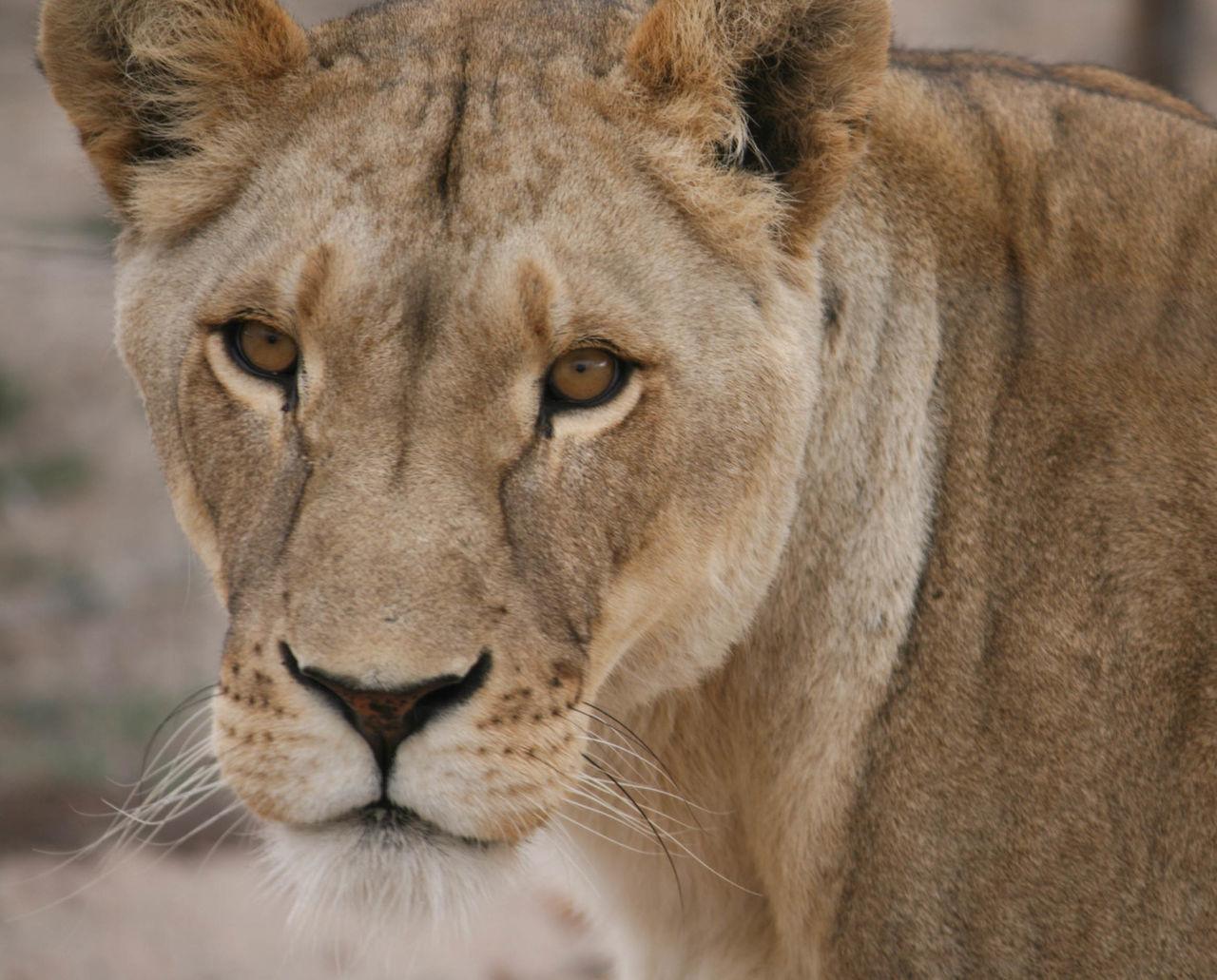 Close-Up Portrait Of Lioness