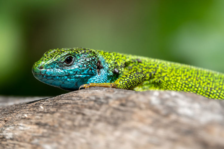 Close-up of lizard on wood
