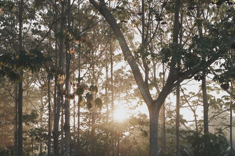 Beauty In Nature Bright Brightly Lit Day Forest Growth Land Lens Flare Low Angle View Nature No People Outdoors Plant Scenics - Nature Sky Solar Flare Streaming Sun Sunlight Tranquil Scene Tranquility Tree Tree Trunk Trunk WoodLand
