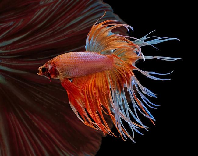 Siamese fighting fish, red fish, black background betta splendens, betta fish, halfmoon betta.