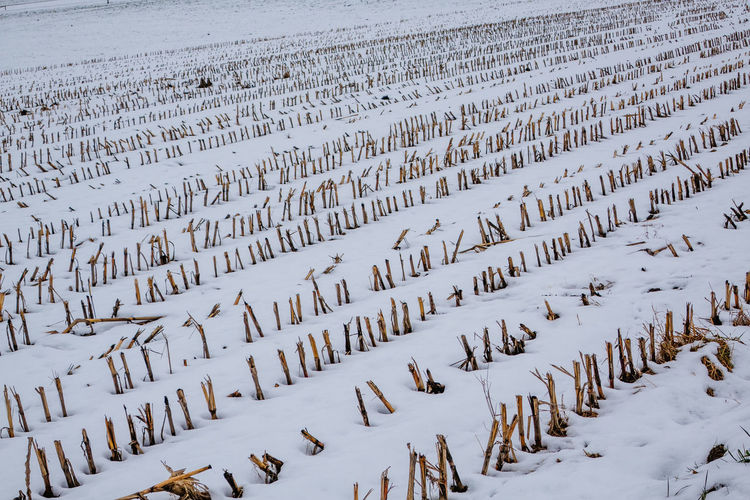 High Angle View Of Dead Plants On Snow Covered Field