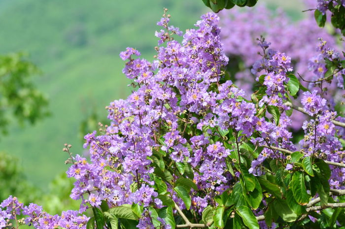 Beauty In Nature Close-up Day Flower Flower Head Flowering Plant Focus On Foreground Fragility Freshness Growth Inflorescence Lavender Leaf Lilac Nature No People Outdoors Petal Pink Color Plant Purple Springtime Vulnerability