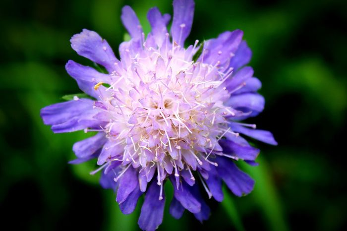 Flower Purple Fragility Nature Petal Beauty In Nature Flower Head Plant Freshness Close-up Outdoors Day Growth Focus On Foreground Uncultivated No People Springtime Thistle Beautiful Thüringer Wald Thüringenentdecken Thüringen_entdecken Beauty In Nature Eyeemgerman Green Color EyeEmNewHere