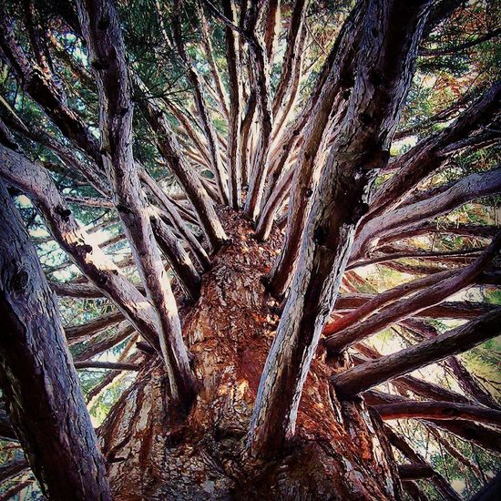 Mammoth Seqouia Trees Hugging A Tree
