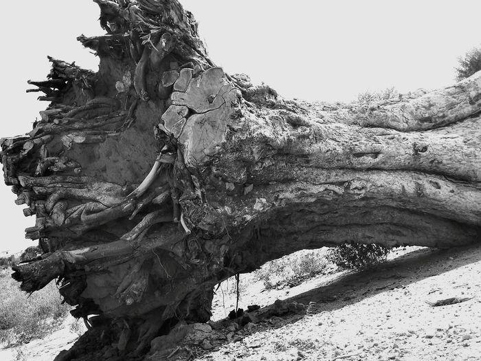 Roots Of Life Giant Tree Skelleton Life Last Breath Tree Roots